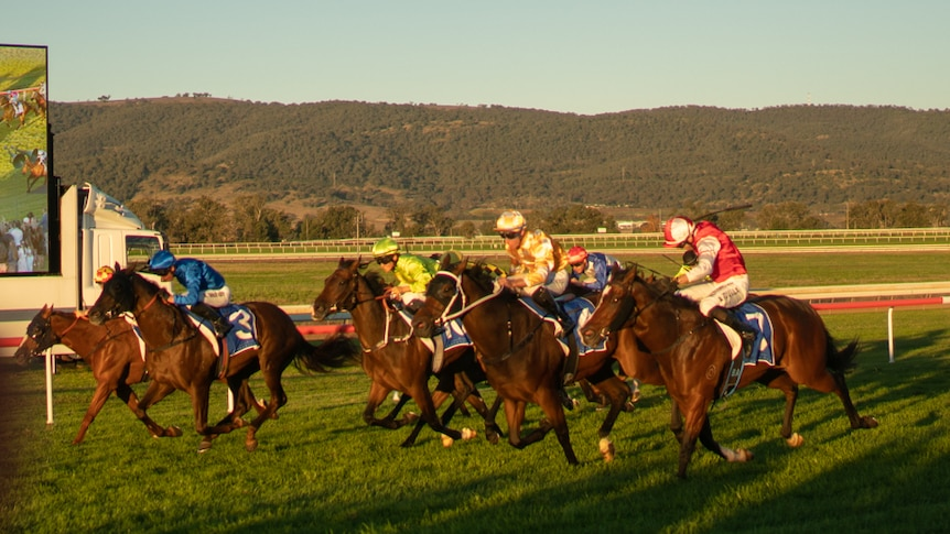 Horses running towards finish line at Scone Race Club. It is late in the day and the sun is setting into the horses' eyes