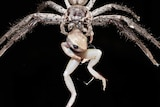 A spider eating a frog
