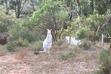 A white kangaroo stands among bushland near Swan Reach.