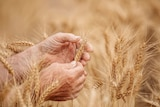 Farmers' hands holding a husk of wheat in a field of the grain