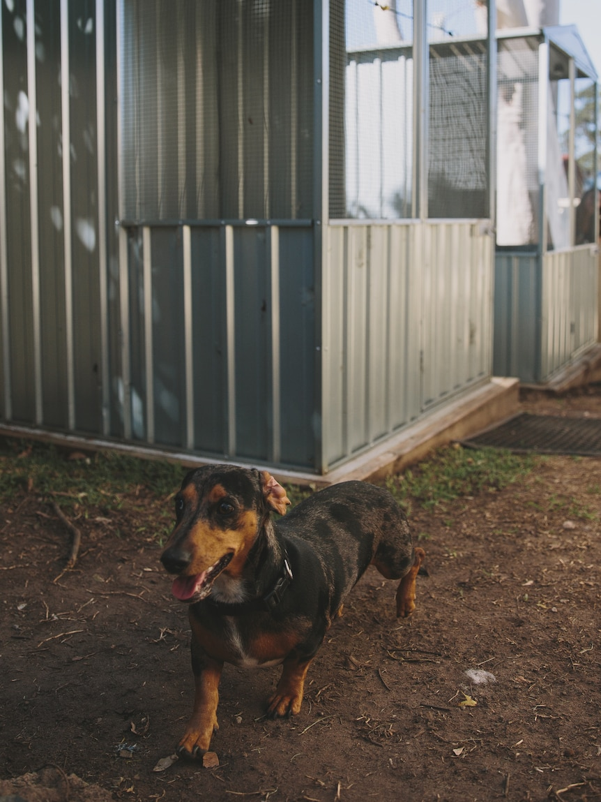 A sausage dog with pet cages in the background.