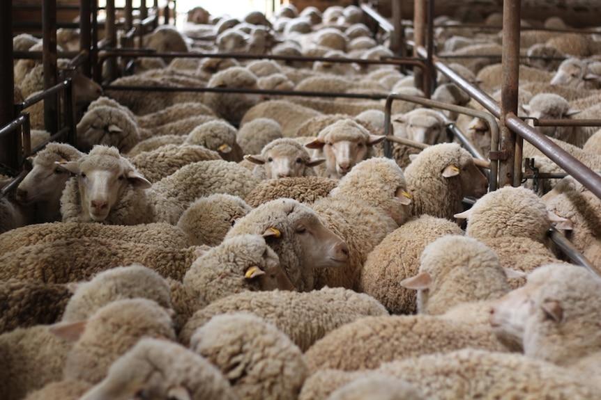 Patient sheep