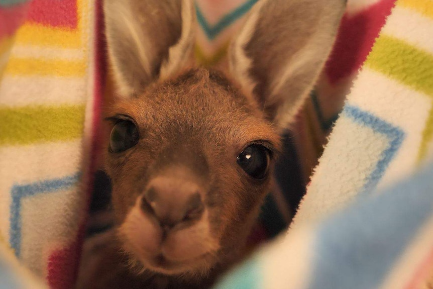 A small kangaroo is wrapped up in a blanket, staring at the camera