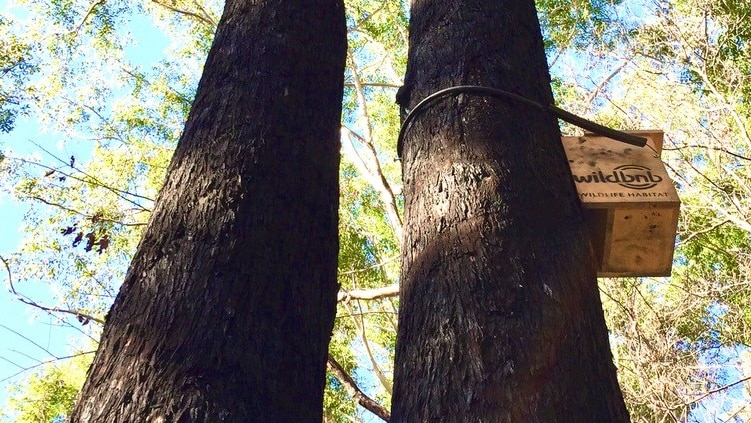 Looking up at a tall tree with a Wildbnb box installed towards the top