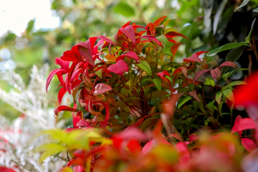 Red leaf plant grows out of a vertical garden with plants in foreground and green tree leaves in background