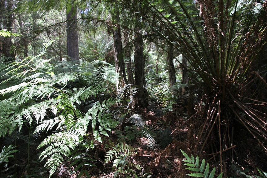 A leafy rainforest, filled with large ferns.
