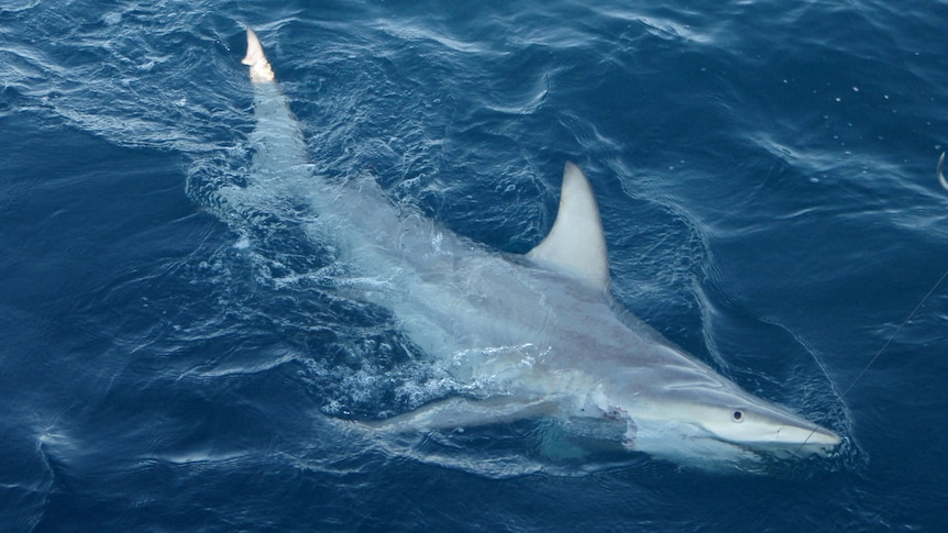 More than 50 of the hybrid sharks were found in a 2,000-kilometre stretch of coast.