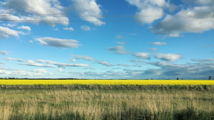 A field of canola in bloom.