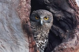 A Powerful Owl junvenile looks out from a tree hollow