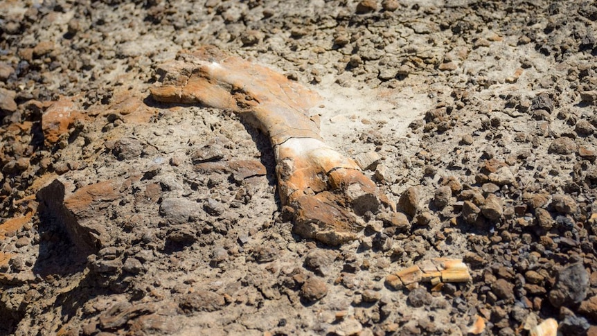 An orange and brown fossil can be seen rising from rocky ground.