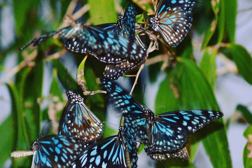 blue and black butterflies in green plants