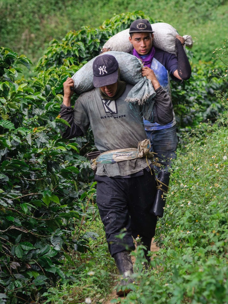 Workers carry bags of coffee berries on a coffee farm in Colombia.