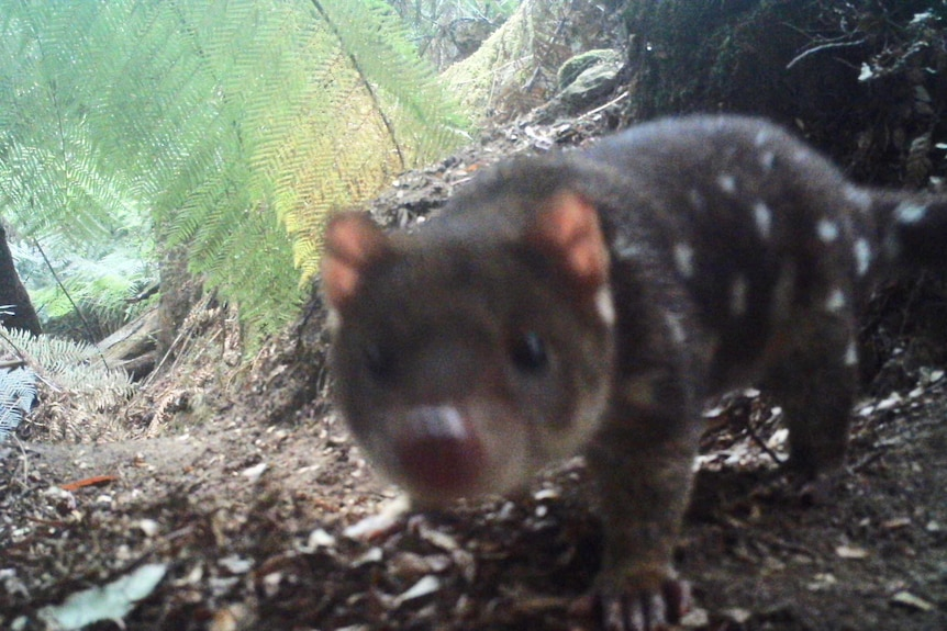 Spotted Tailed Quoll caught on camera trap in Blue Tier looking at camera