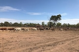 Cattle walk in a line through a drought impacted paddock.