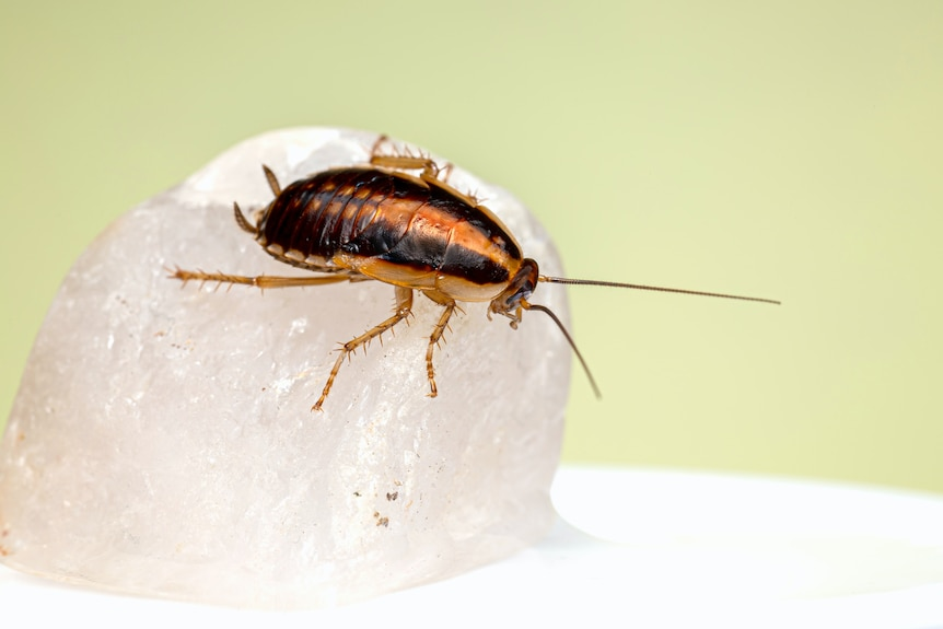 A German cockroach