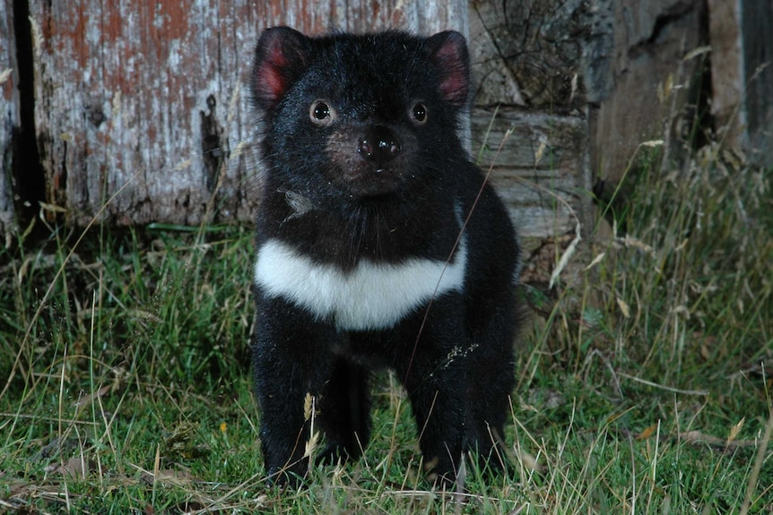 A Tasmanian devil in the wild