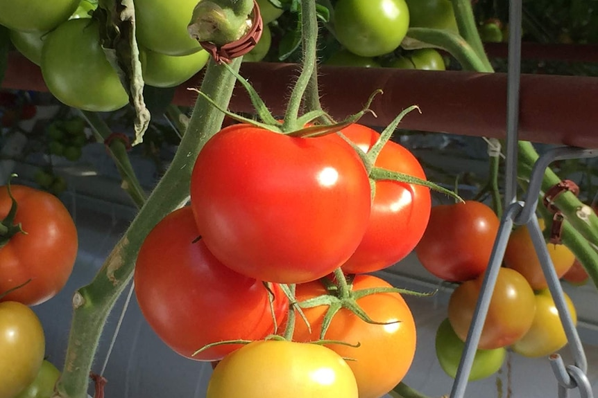 Juicy looking red yellow and green tomatoes growing on a vine at Sundrop Farms.