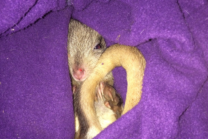 A bettong snuggles up in a fleece bag on a chilly morning at the Arid Recovery Reserve.