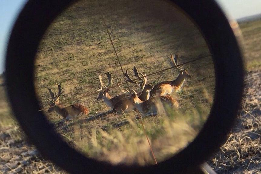 Fallow deer seen through a rifle scope.