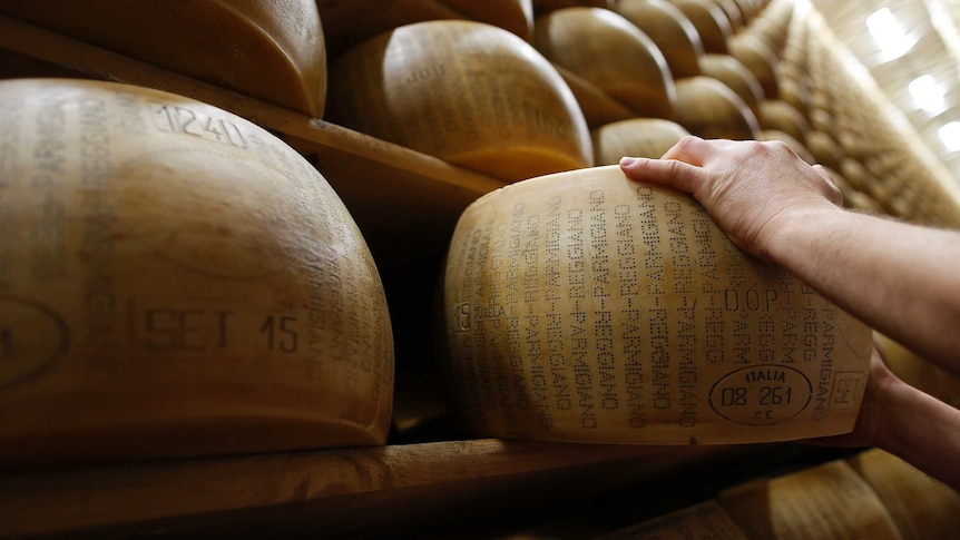 A worker inspects a wheel of Parmesan cheese