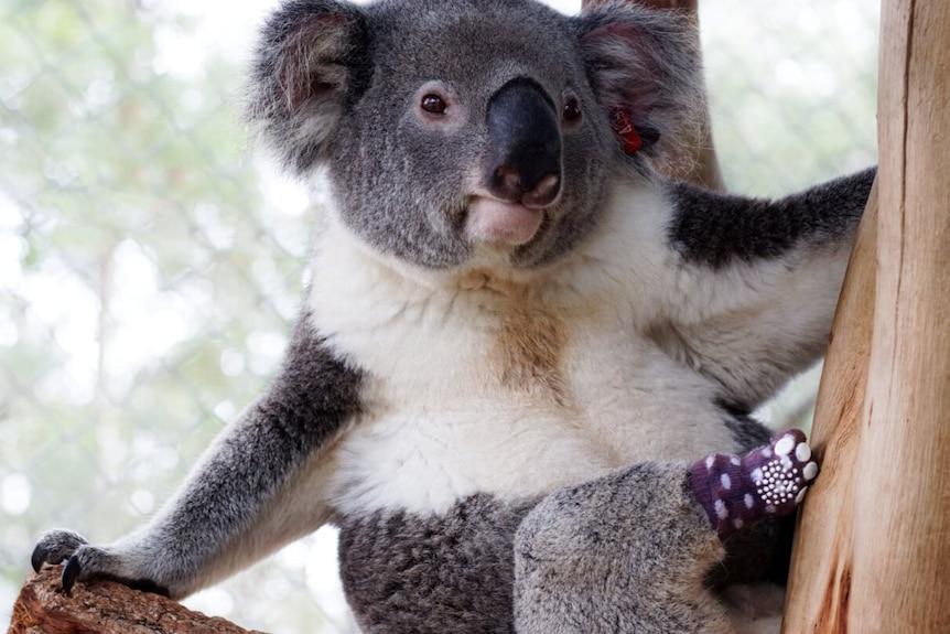 Koala in tree wearing a purple and white sock on its back foot.