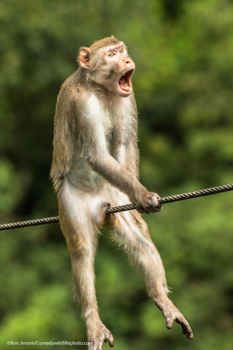 A monkey looks shocked as it sits abreast a wire.