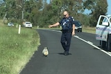 Koala ignores police officer who tells him to get off the road.
