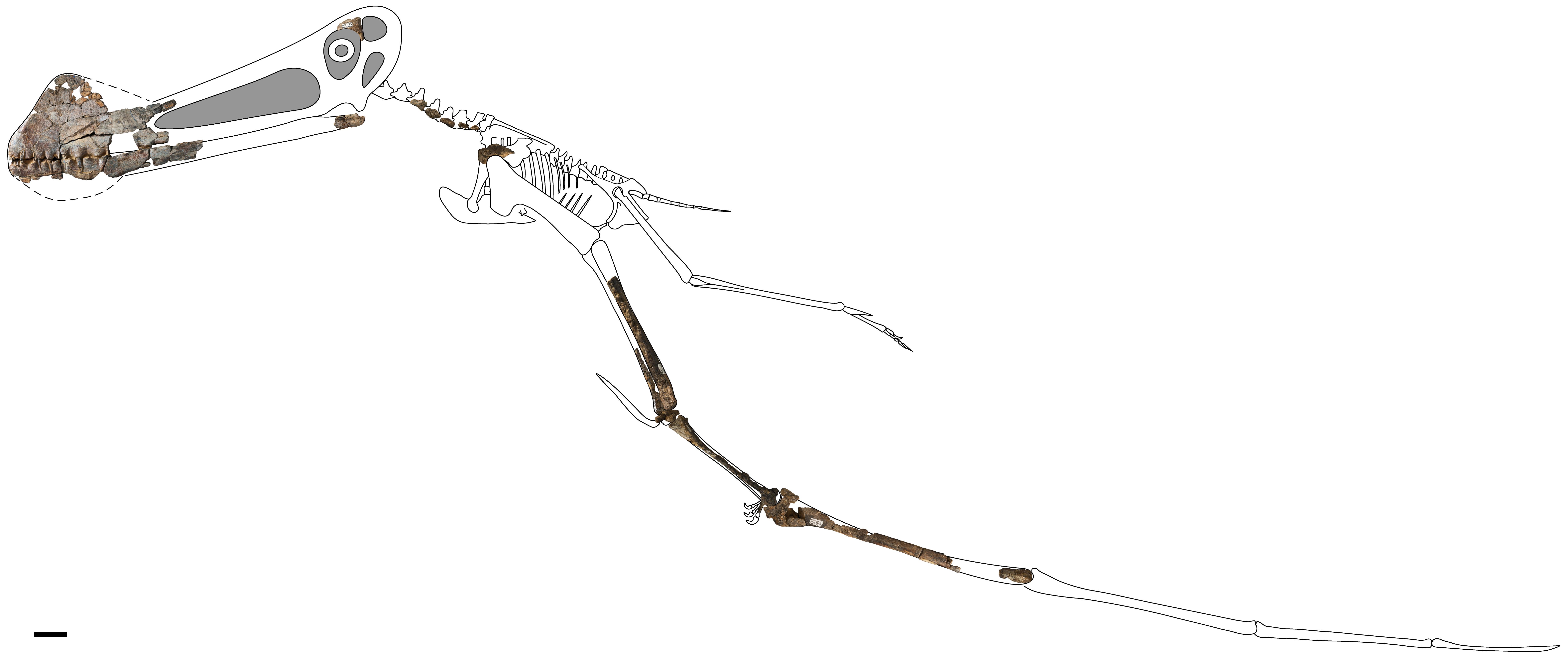 Skeletal reconstruction of a Ferrodraco lentoni