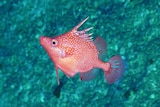 A bright red fish with white spots.