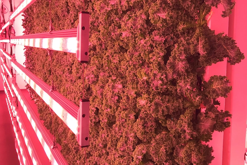 Kale growing vertically on the farm in front of the pink LED lighting.