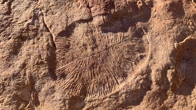 An oval-shaped fossil in light brown rock