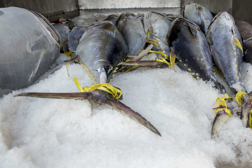 Marine Stewardship Council-certified yellowfin tuna processed at SeaQuest processing plant in Fiji.