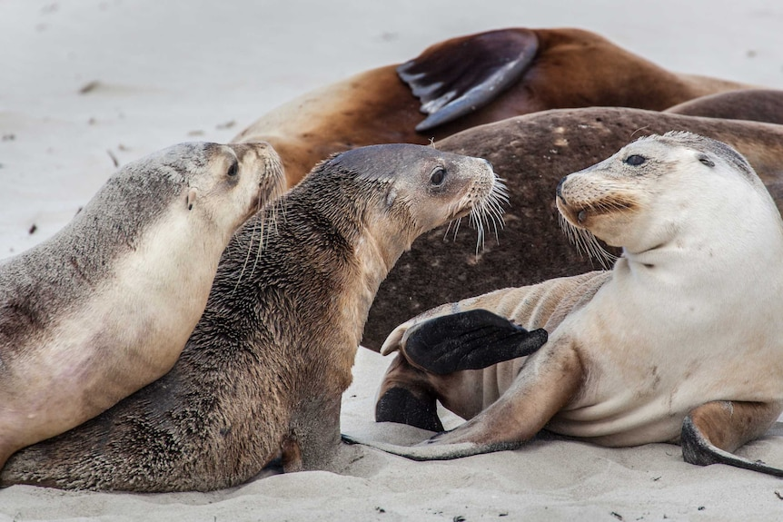 A group of playful sea lions laze on the beach looking playful.
