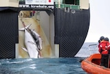 Controversial: a minke whale and its calf are dragged onto a whaling ship