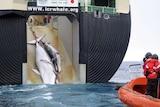 Whaling: minke whale.