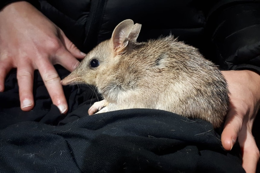 Little marsupial with pointed nose on black cloth with person's hands holding it