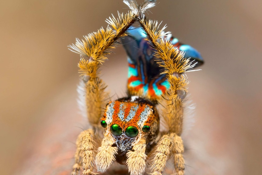 Maratus unicup with arms crossed above its head.