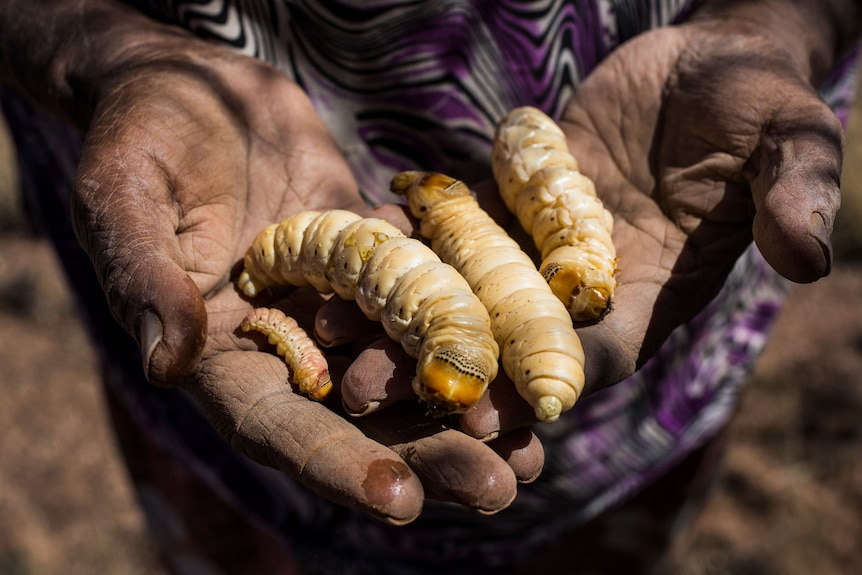 Four fat witjuti grubs on a pair out outstretch hands.