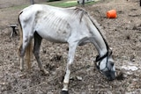 White horse trying to eat from brown grass, with ribs and bones showing.