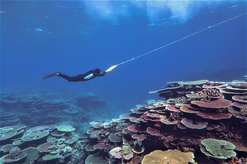 Person snorkeling looks down towards corals while holding onto a line from a boat.