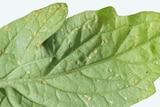 Bactericera cockerelli, nymphs on underside of tomato leaf