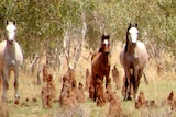 Wild horses in the area where a cull is taking place