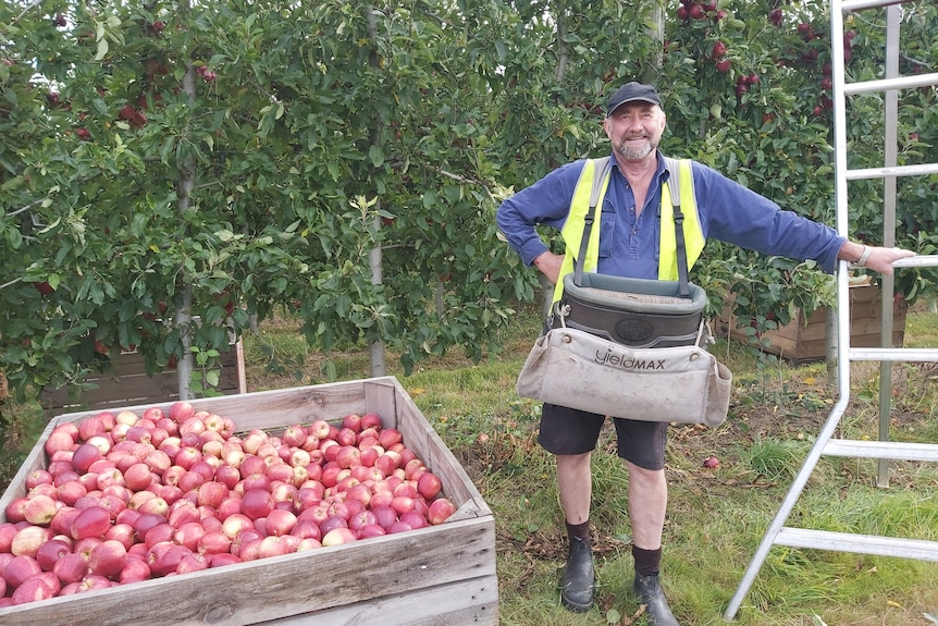 a man stands between a bin full of apples and a large ladder in front of a row of apples