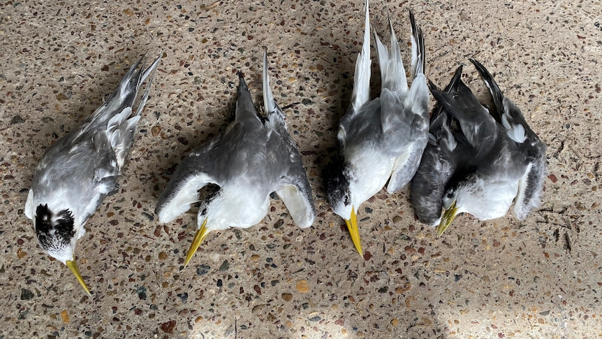 Bodies of four black and white seabirds lined up on the ground