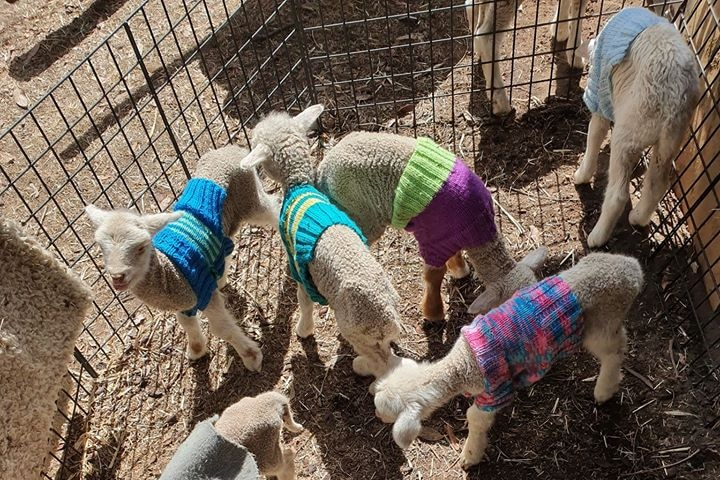 Sheep with a woolly jumper on at Homebush farm, north-west of Stanthorpe.