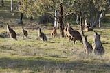 Kangaroo mob at the Pinnacle Reserve
