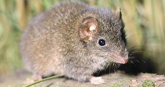 Carnivorous marsupial