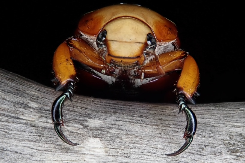 Brown Christmas beetle close up showing its claws