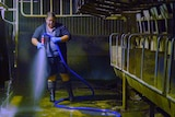 Woman hosing out a milking shed