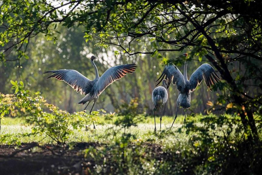 Brolgas dance in Kakadu National Park.